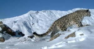 Snow Leopard trust pic1